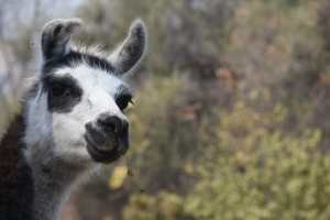llama(1)