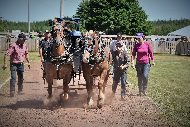 Heavy horse pull Dundas2 2019(1)